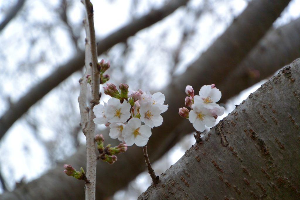 咲き始めて