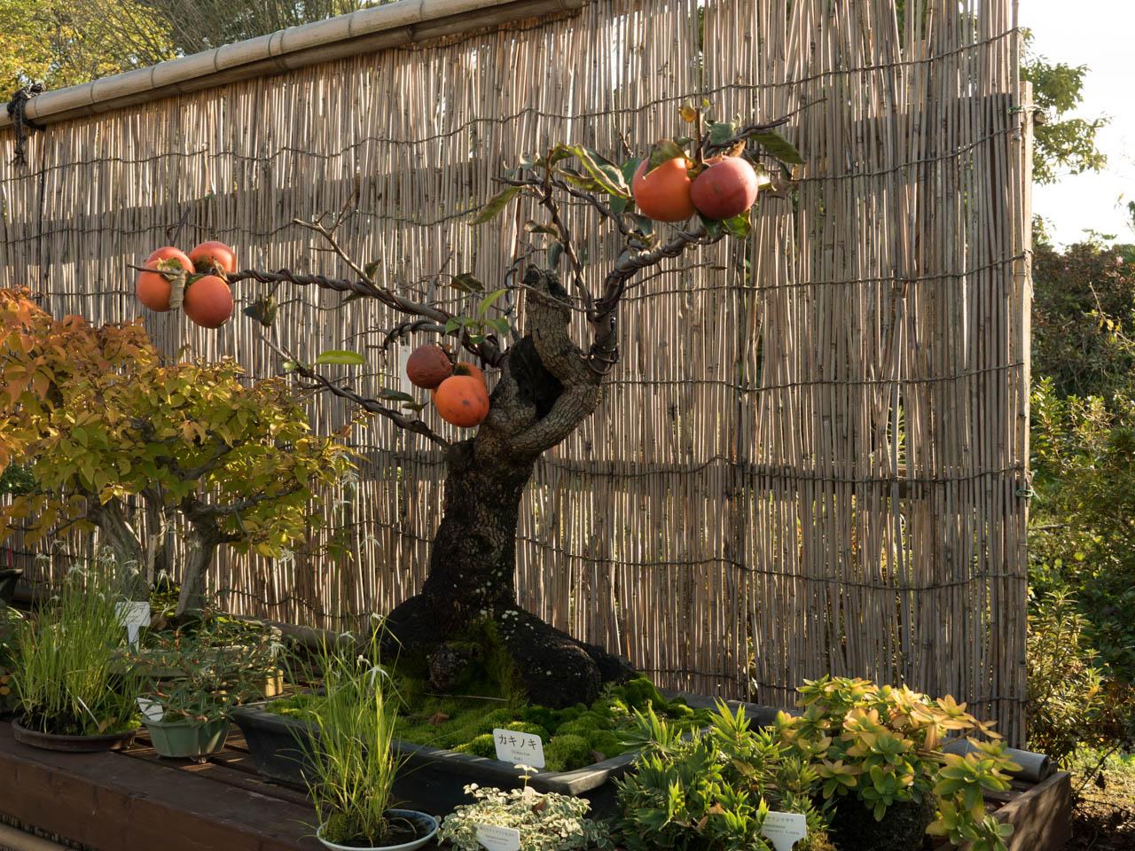 こんな立派な柿