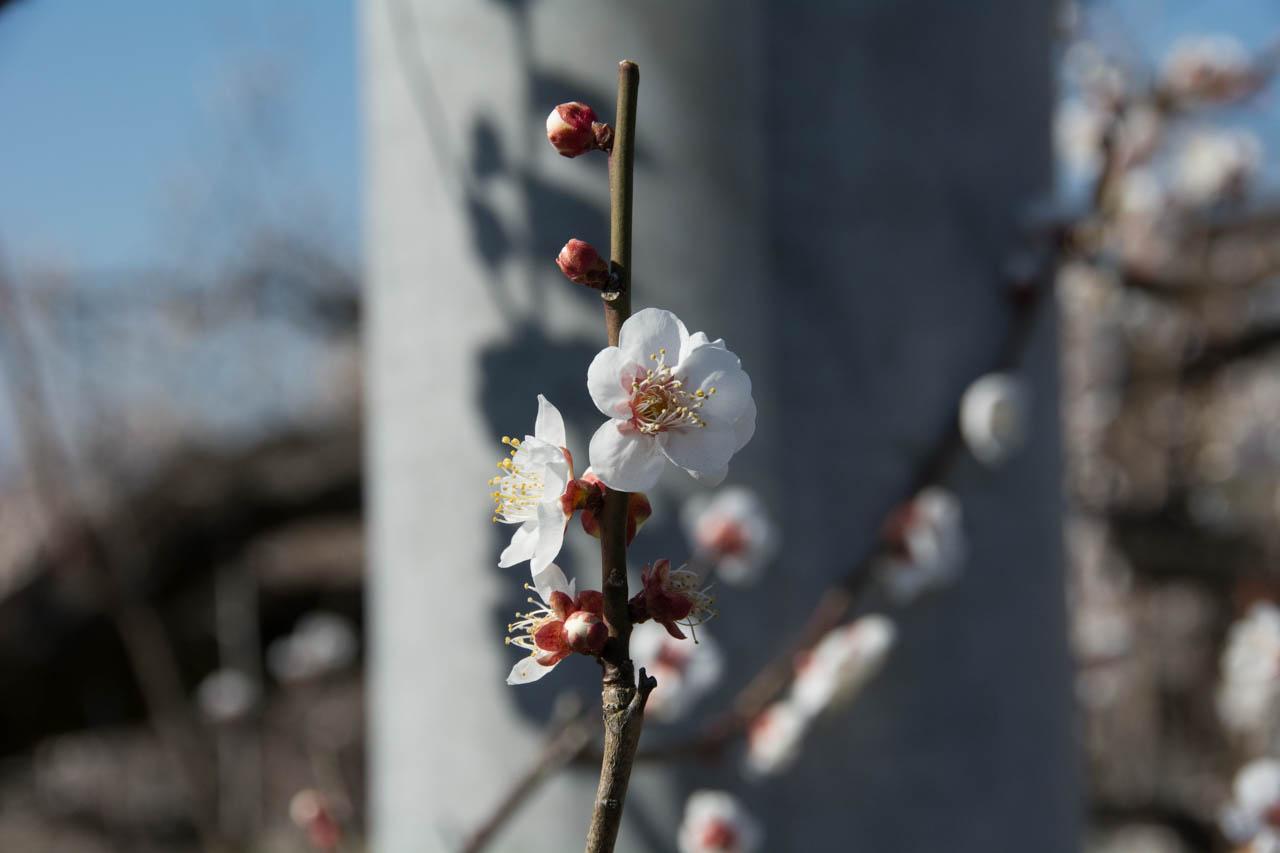 梅は咲き始めというところ