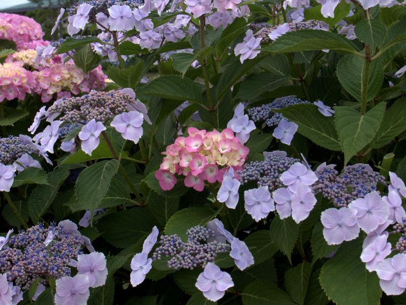 ガクアジサイの中に紫陽花が埋れている