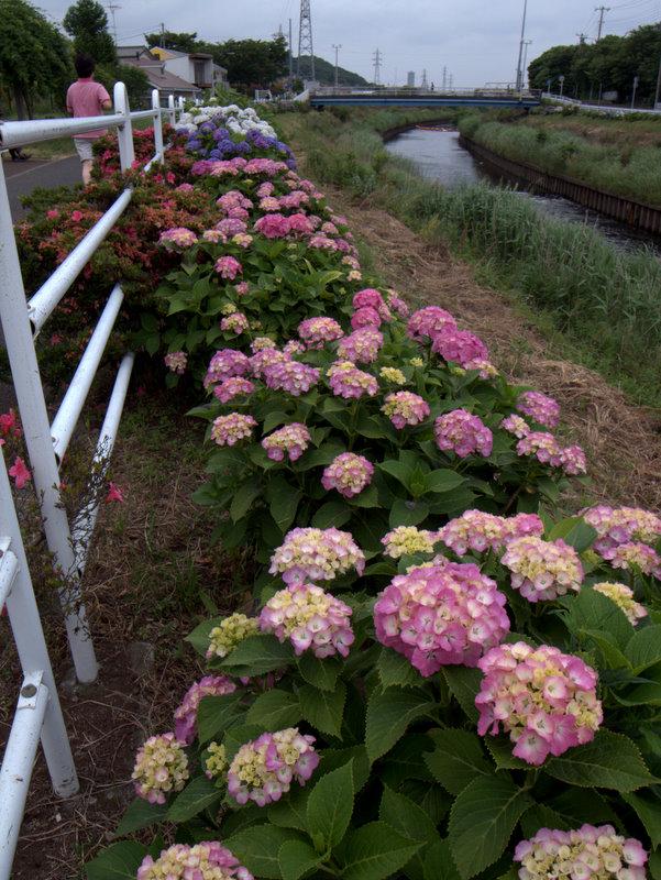 紫陽花の列