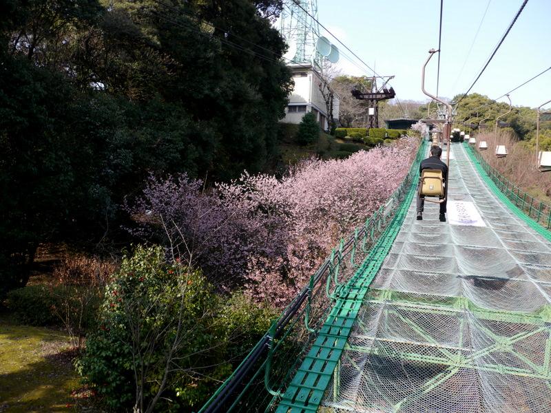 河津桜らしい、濃いピンクの花