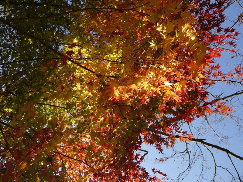 紅葉/黄葉越しの光が美しい
