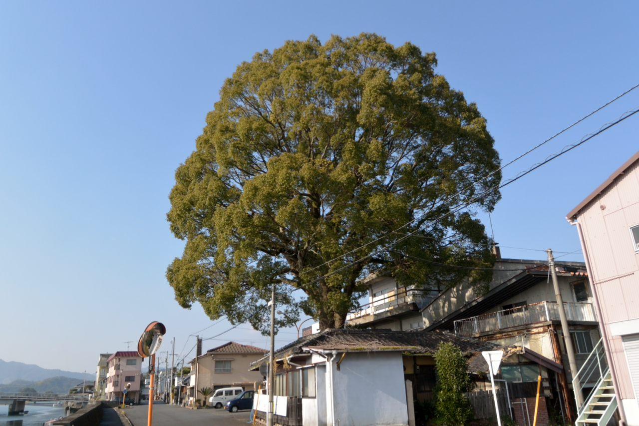 曰く有りげな大樹