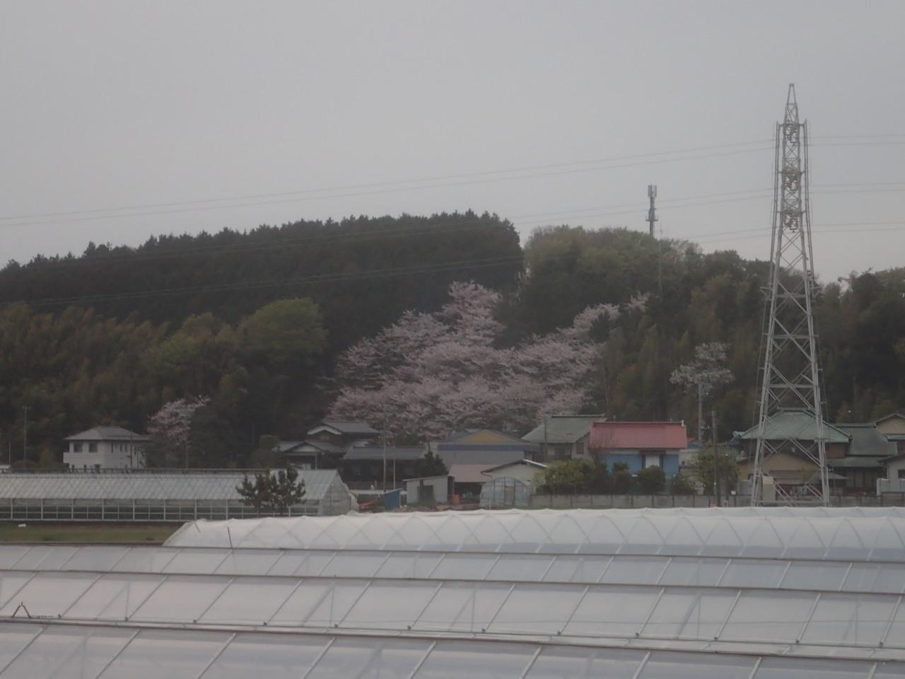 山中にある桜の位置