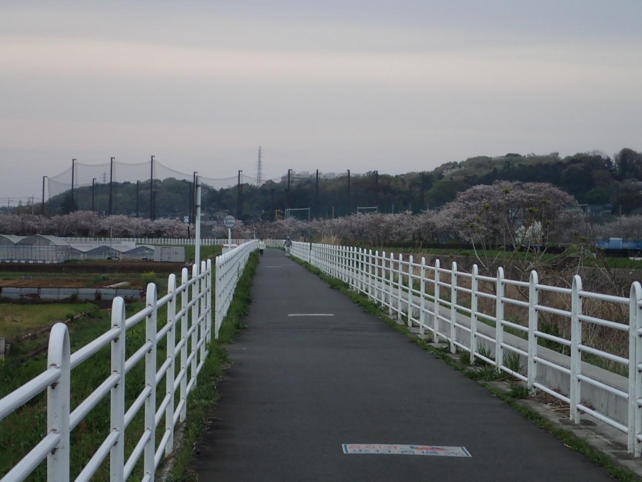 川沿いにあるソメイヨシノ