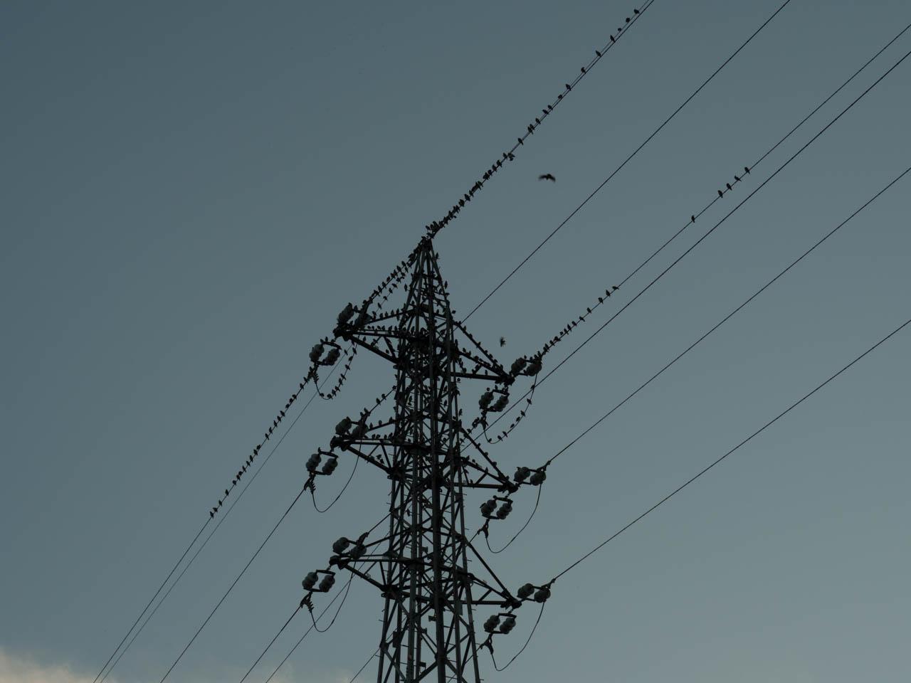 鉄塔上のムクドリたち