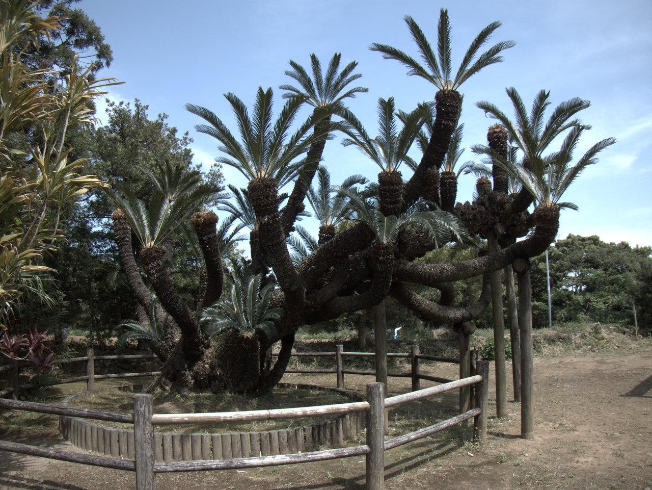 ソテツの巨木