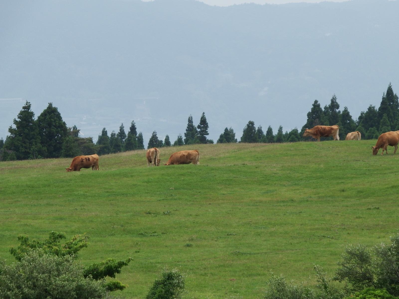 牛たちはのんびりしている