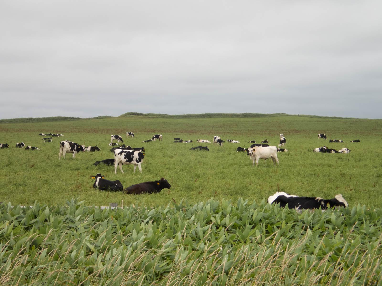 牛が群れている